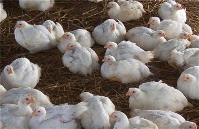 白羽肉鸡 生长环境