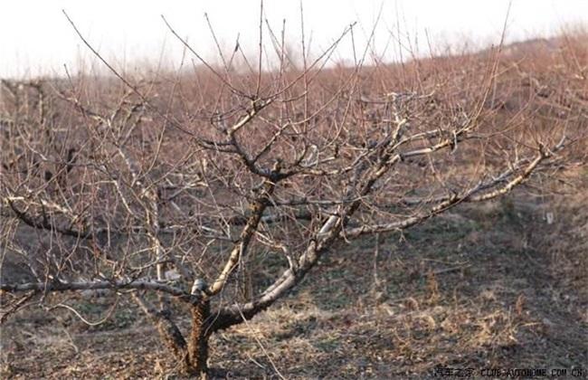 桃树冬季管理要点