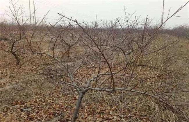 桃树冬季 管理要点