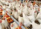 白羽肉鸡的生长环境