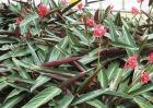 竹芋的养殖方法和注意事项