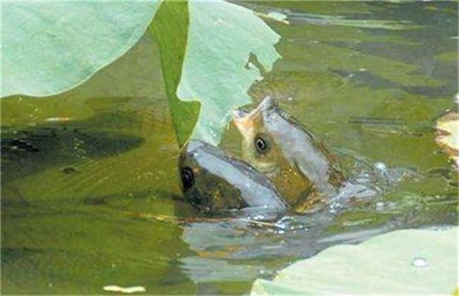 草鱼喂草注意事项