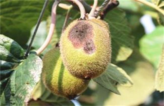 猕猴桃畸形原因及防治措施