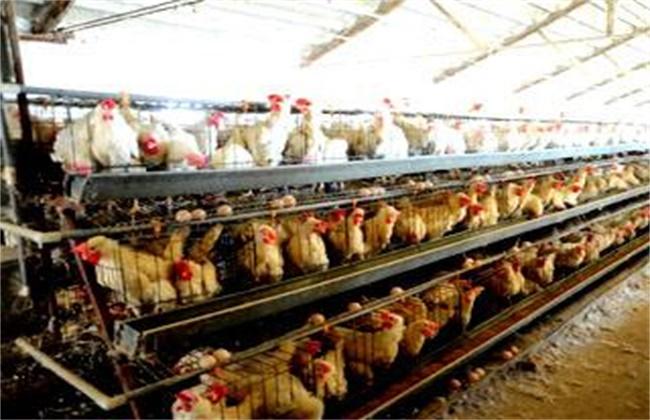蛋鸡产前管理要点