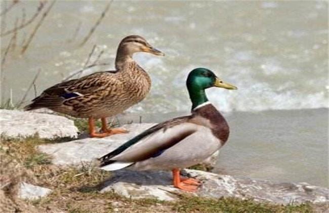 绿头鸭的养殖成本
