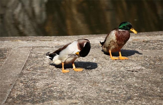 绿头鸭养殖市场前景