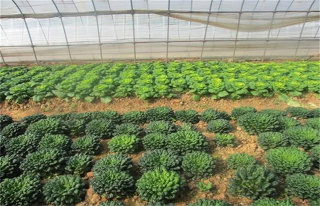 乌塌菜的种植时间和方法
