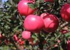 影响苹果果实着色的因素