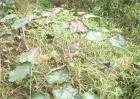 猕猴桃采收期如何防落叶