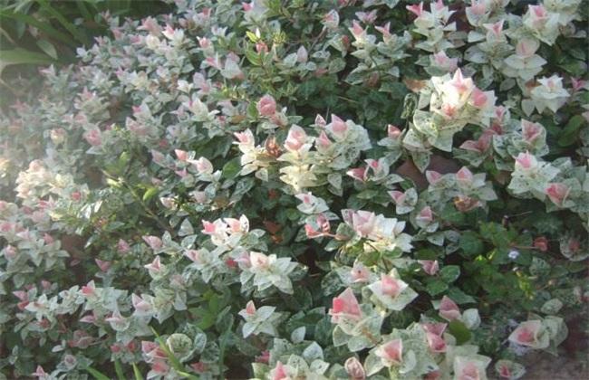 花叶络石 扦插 繁殖