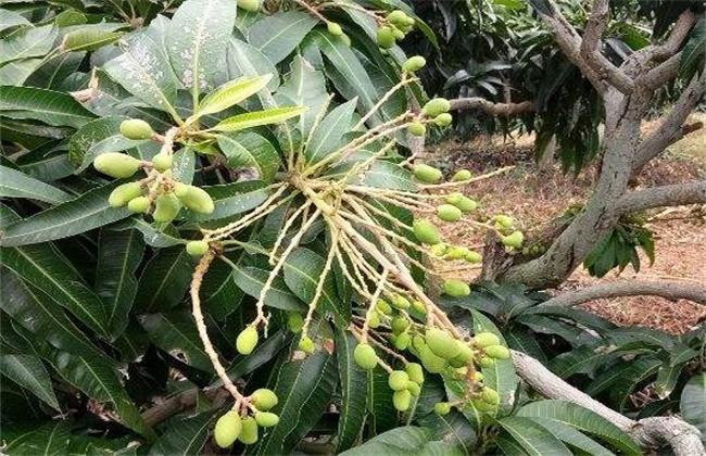 反季节芒果产量低原因及解决措施
