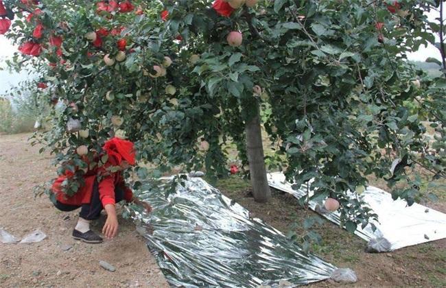 苹果园 反光膜 怎么铺