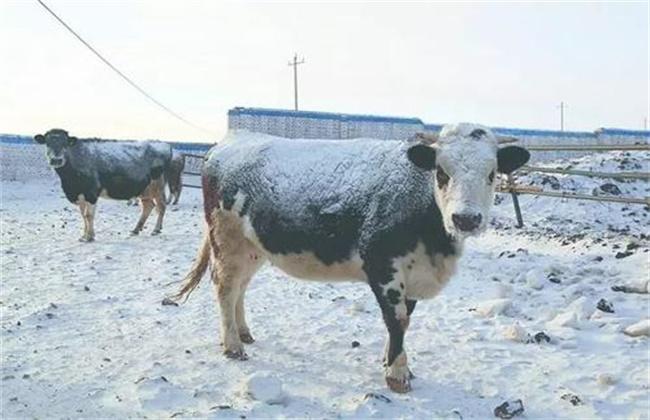 冬季养牛如何防止掉膘