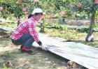 苹果园铺反光膜的作用
