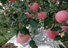 苹果园反光膜怎么铺