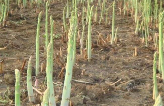芦笋茎枯病的防治方法
