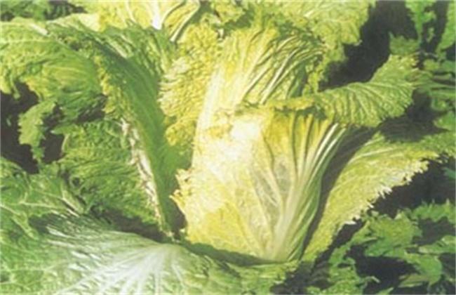 大白菜怎样防止低温冻害