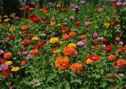 百日草的养殖方法和注意事项