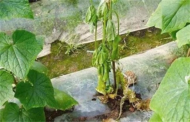 蔬菜倒苗原因及防治方法
