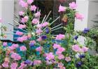 风铃花的养殖方法
