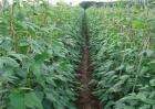 豆类蔬菜怎么施肥