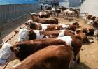 冬季如何快速育肥牛