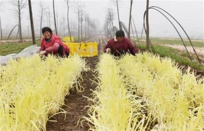 韭黄的种植管理技术