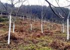 冬季核桃树管理技术