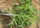 蔬菜激素中毒原因及缓解措施