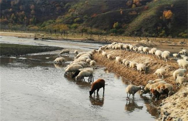 养羊饮水要求有哪些