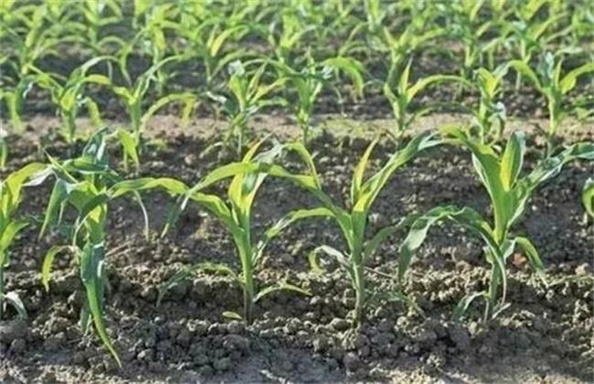 影响玉米出苗的因素