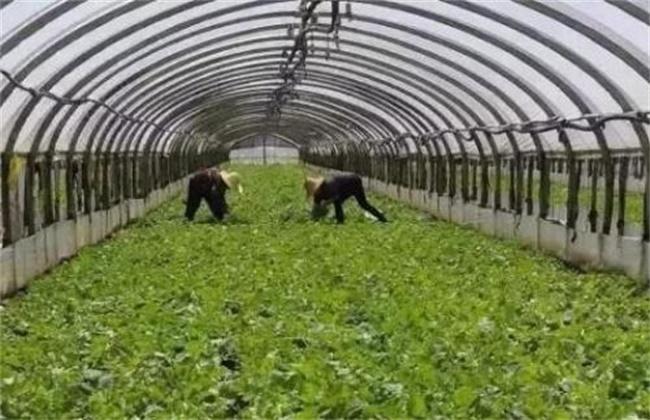 冬季大棚蔬菜冲肥注意事项
