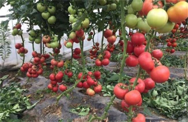西红柿酱油果原因及预防措施