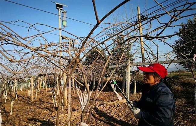 猕猴桃 冬剪技术