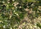 柑橘冬季异常落叶原因及防治措施