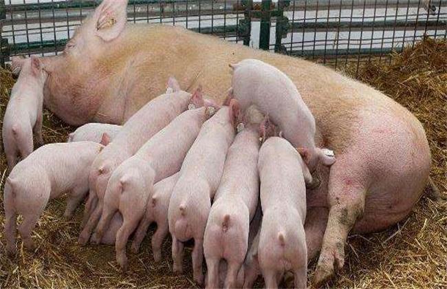 母猪分娩前有什么预兆