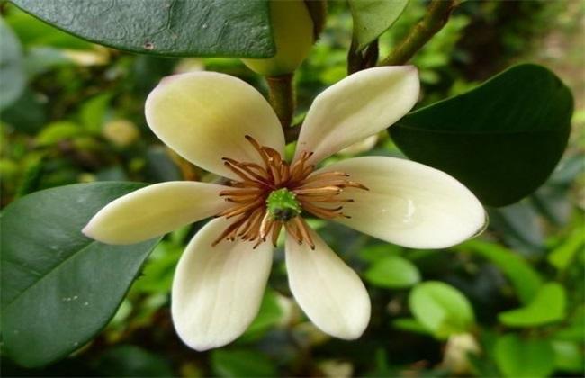 含笑花的繁殖方法
