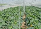 如何促进冬季大棚蔬菜花芽分化