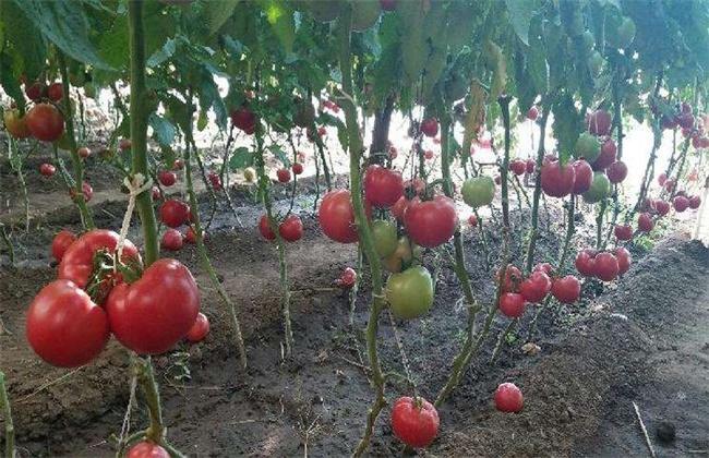 番茄摘叶的误区