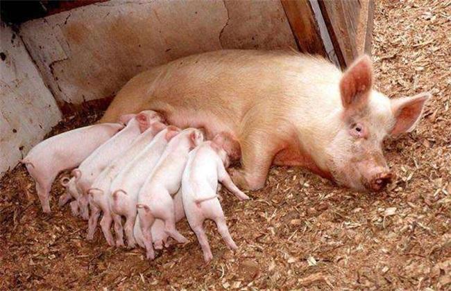 仔猪被压死的原因
