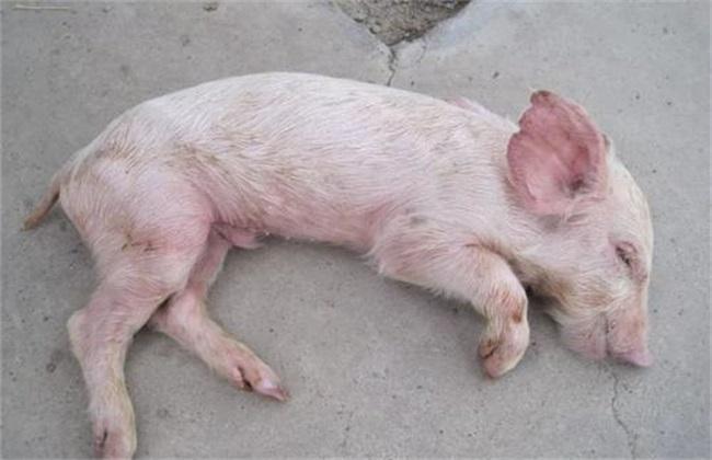 仔猪被压死 原因