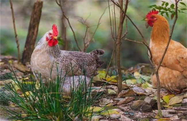 鸡传染病的四大预防措施