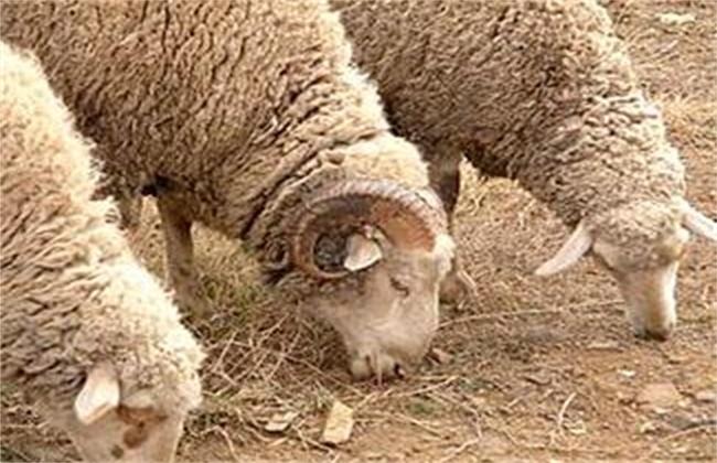 绵羊冬季脱毛原因及防治方法