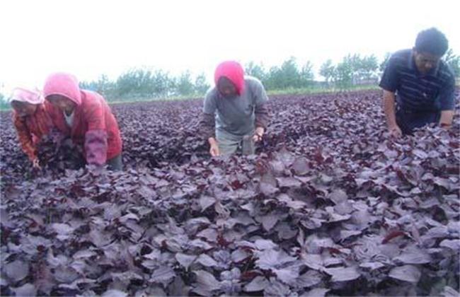 紫苏高产种植技术