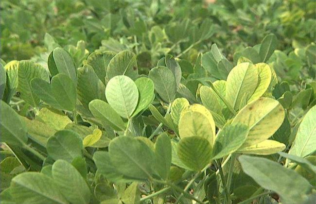 花生黄叶是怎么回事