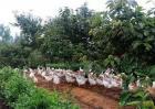 果园养鸭技术要点