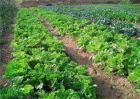 蔬菜轮作原则和注意要点