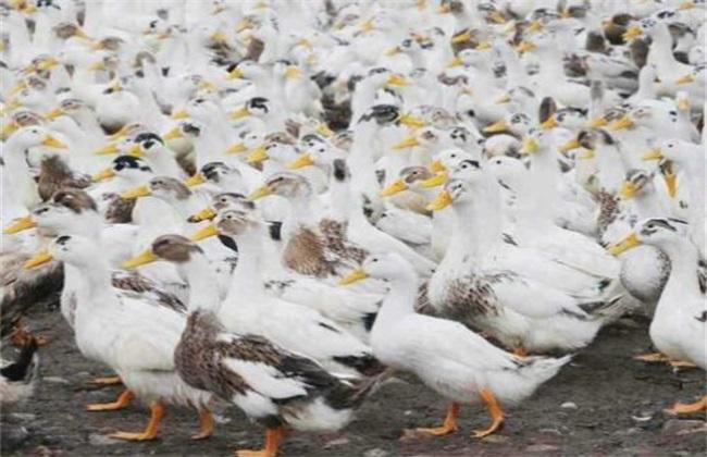 肉鸭用药注意事项