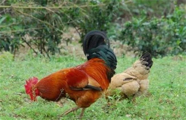 养鸡 常见错误用药方式