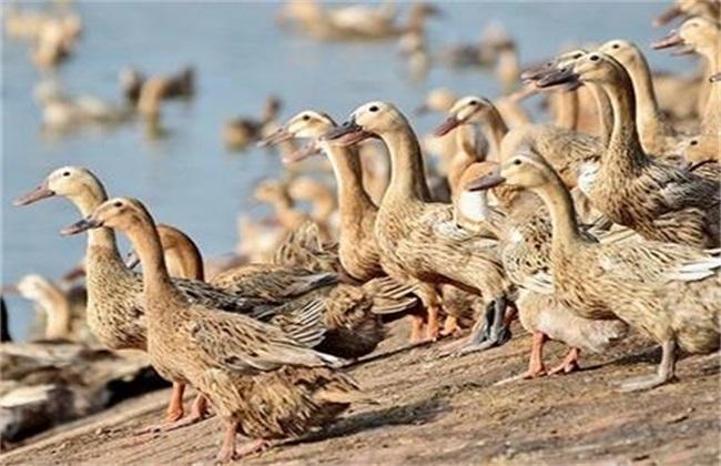 养鸭常见问题